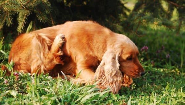 Allergi hos hund – seks tegn på at hunden din har en reaksjon