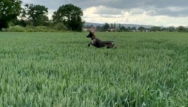 Does Your Dog Stot? Meet River, a Very Hoppy GSP