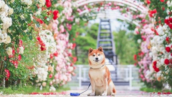 Shiba Posing with Flowers is Your Daily Moment of Zen on Instagram