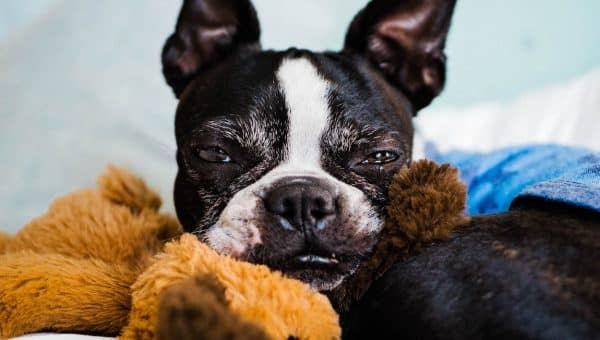 12 Best Dog Toys for Boston Terriers