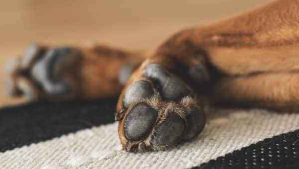 Brente hundepoter – hva det er og hvordan det kan unngås