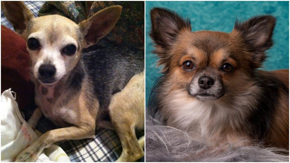 Deer Head Chihuahua Vs Apple Head Chihuahua Get The Facts The