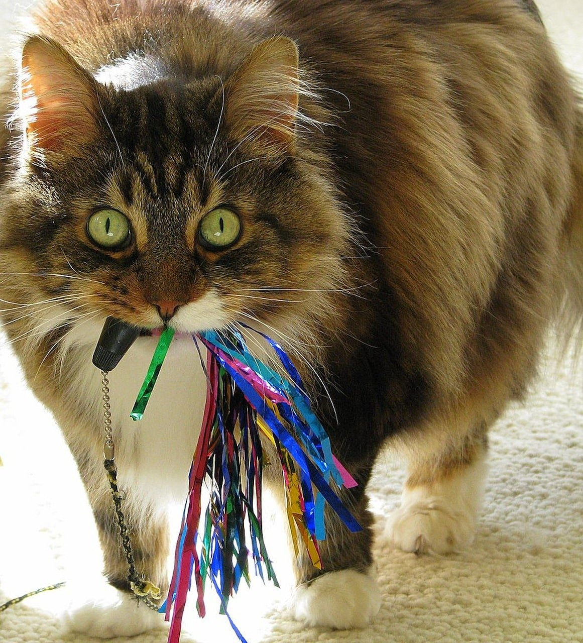 11 Surprising Facts About Maine Coon Cats | The Dog People