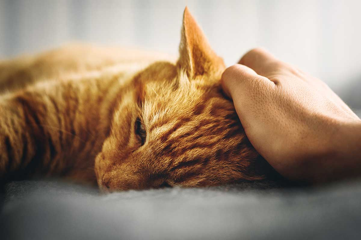 Red tabby cat getting head rubbed