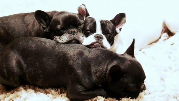 The Best Dog Beds For French Bulldogs in 2019