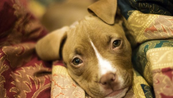 The Best Dog Beds for Pit Bulls