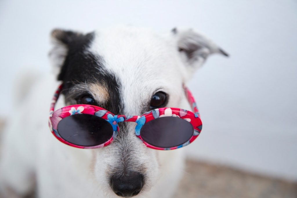 dog days of summer guide warm weather outfits accessories section dog in sunglasses