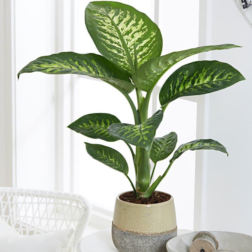 Dieffenbachia plante toxique chien