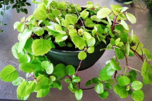 House Plants Poisonous to Dogs & Their Safe Alternatives for ... on common plants used in baskets florist, common house plant problems, common household plants, round leaves with ivy, variegated ivy, common names of indoor plants, hedera glacier ivy,