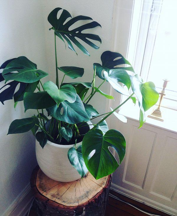 Philodendron - plante toxique pour les chiens