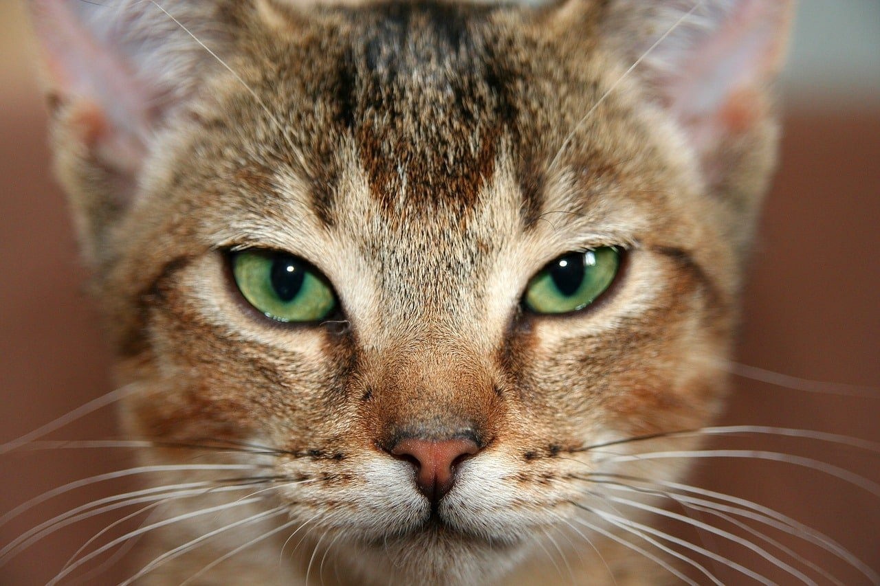 8 Fascinating Facts About the Abyssinian Cat | The Dog