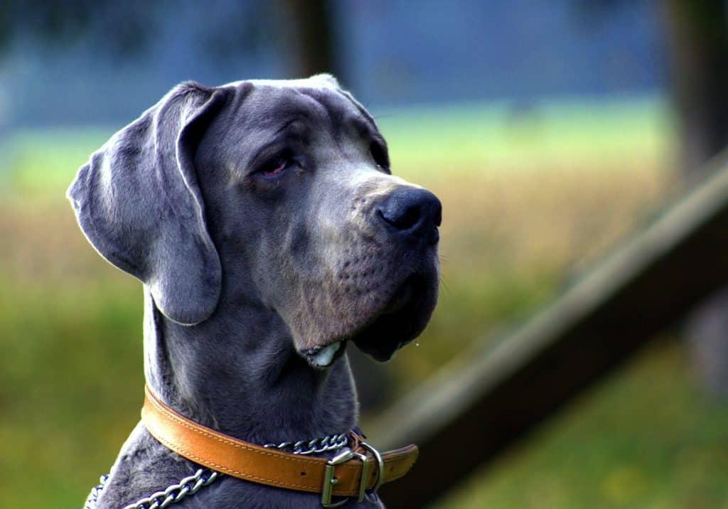 Great Dane Profile A New Owner S Guide To These Gentle Giants The Dog People By Rover Com