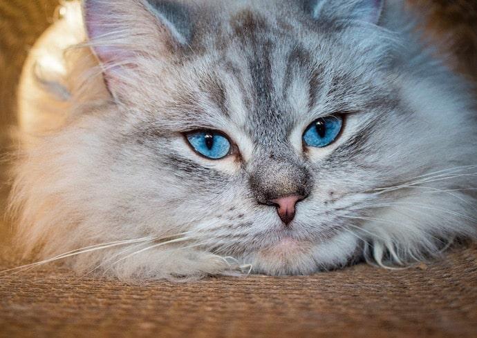 chat sibérian yeux bleus