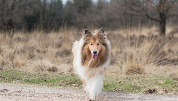 Las 10 razas de perros más inteligentes