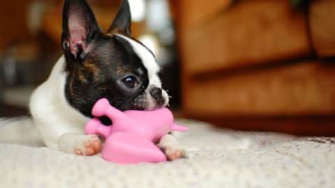 why do dogs love squeaky toys explained