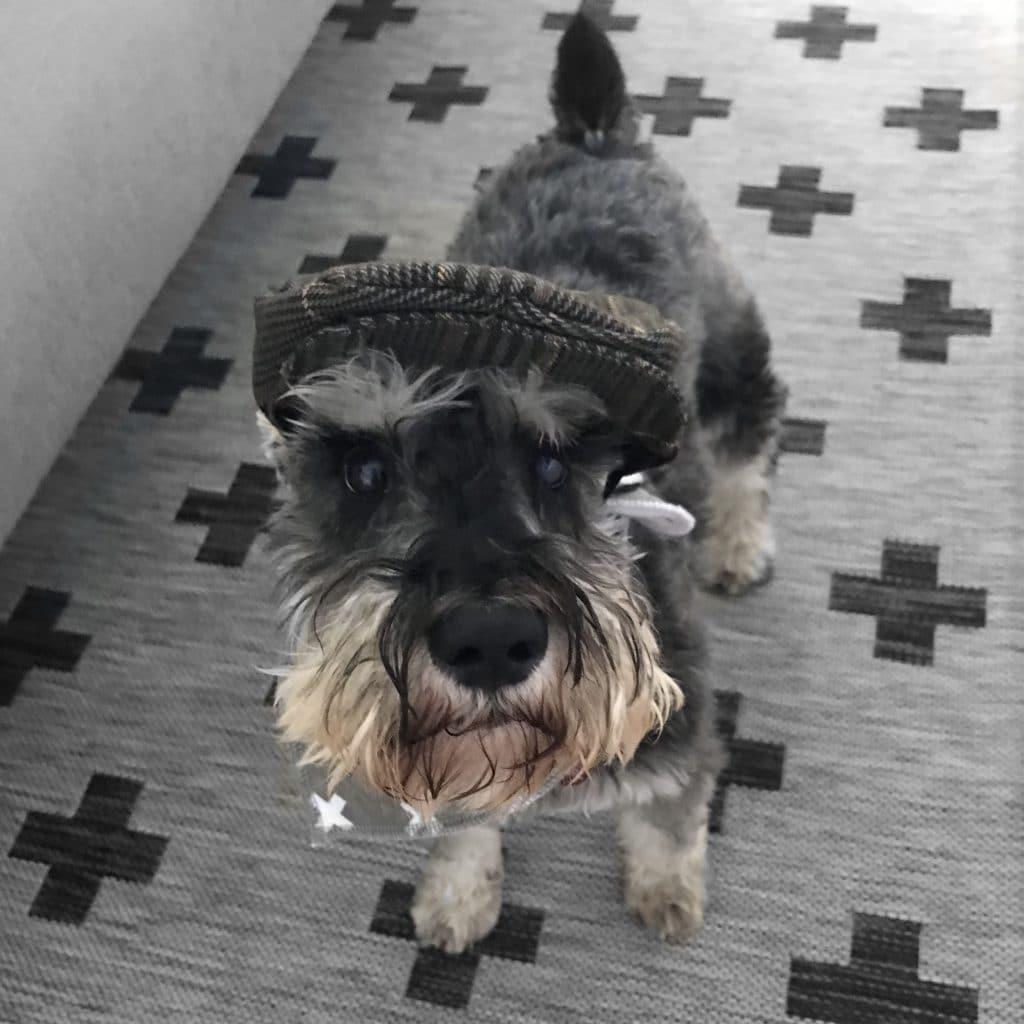 Miniature Schnauzer in a newsboy hat