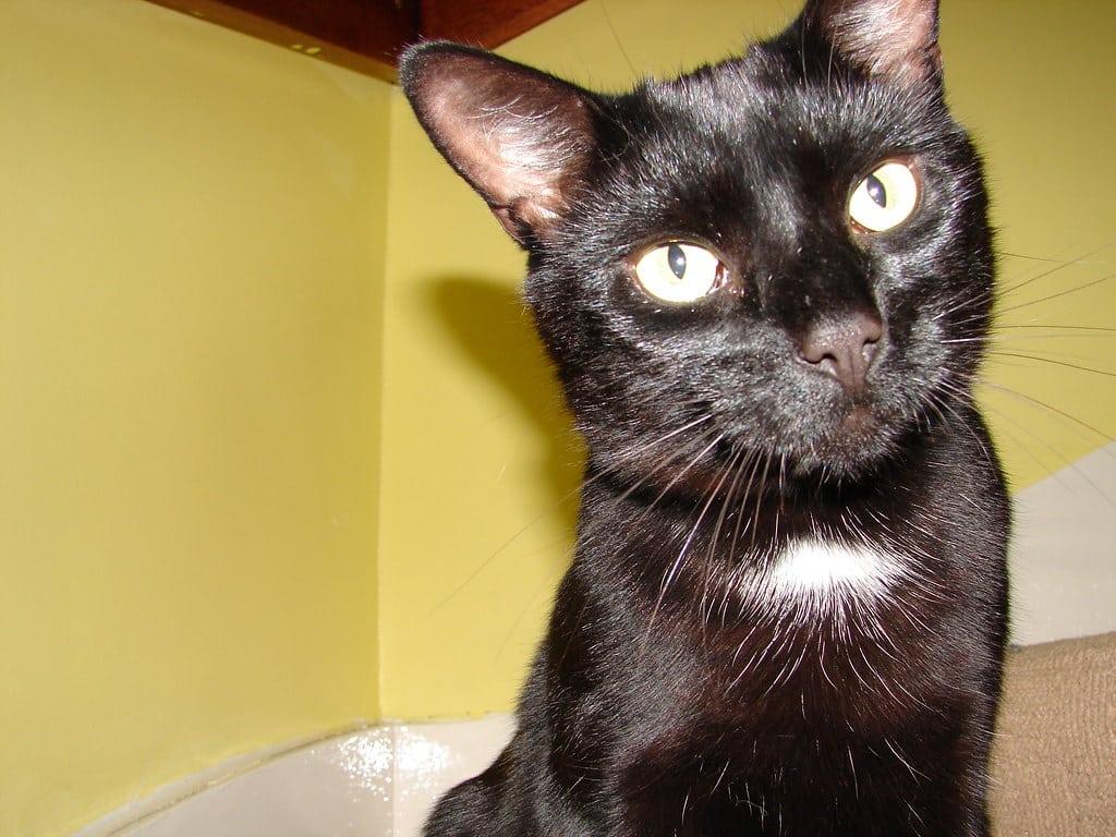 Cat Sitter  Black Bombay Curse