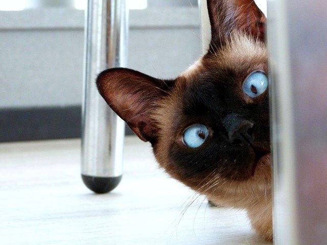 frisky Siamese cat