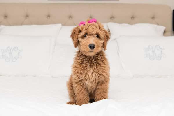 Rosie, le goldendoodle qui ressemble à une peluche
