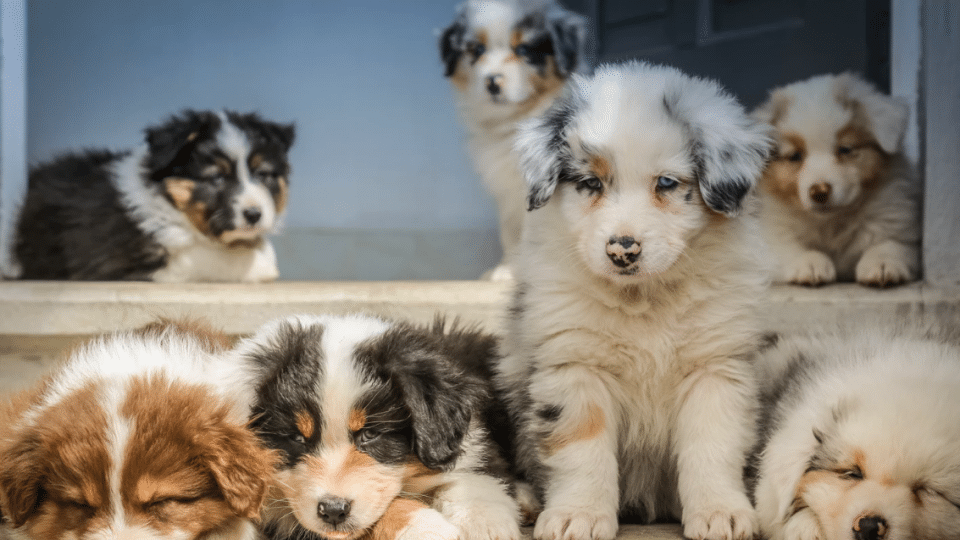 Australian Shepherd Puppies The Ultimate Guide For New Dog