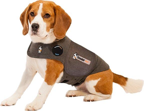 beagle wearing ThunderShirt