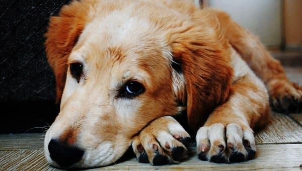 De eerste stappen om je hond van verlatingsangst af te helpen