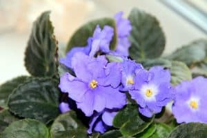 African violets are safe flowers for cats and dogs
