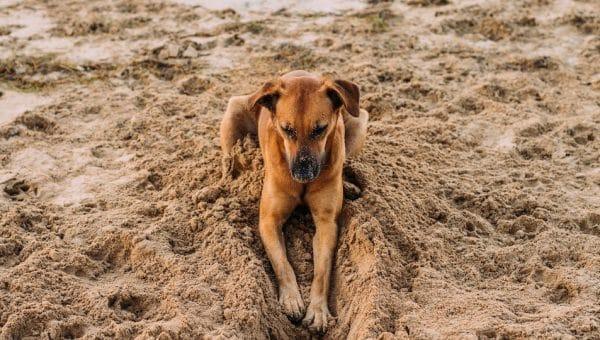 Waarom graven honden? Dit is waarom honden in hun mand, op het tapijt of in het zand graven