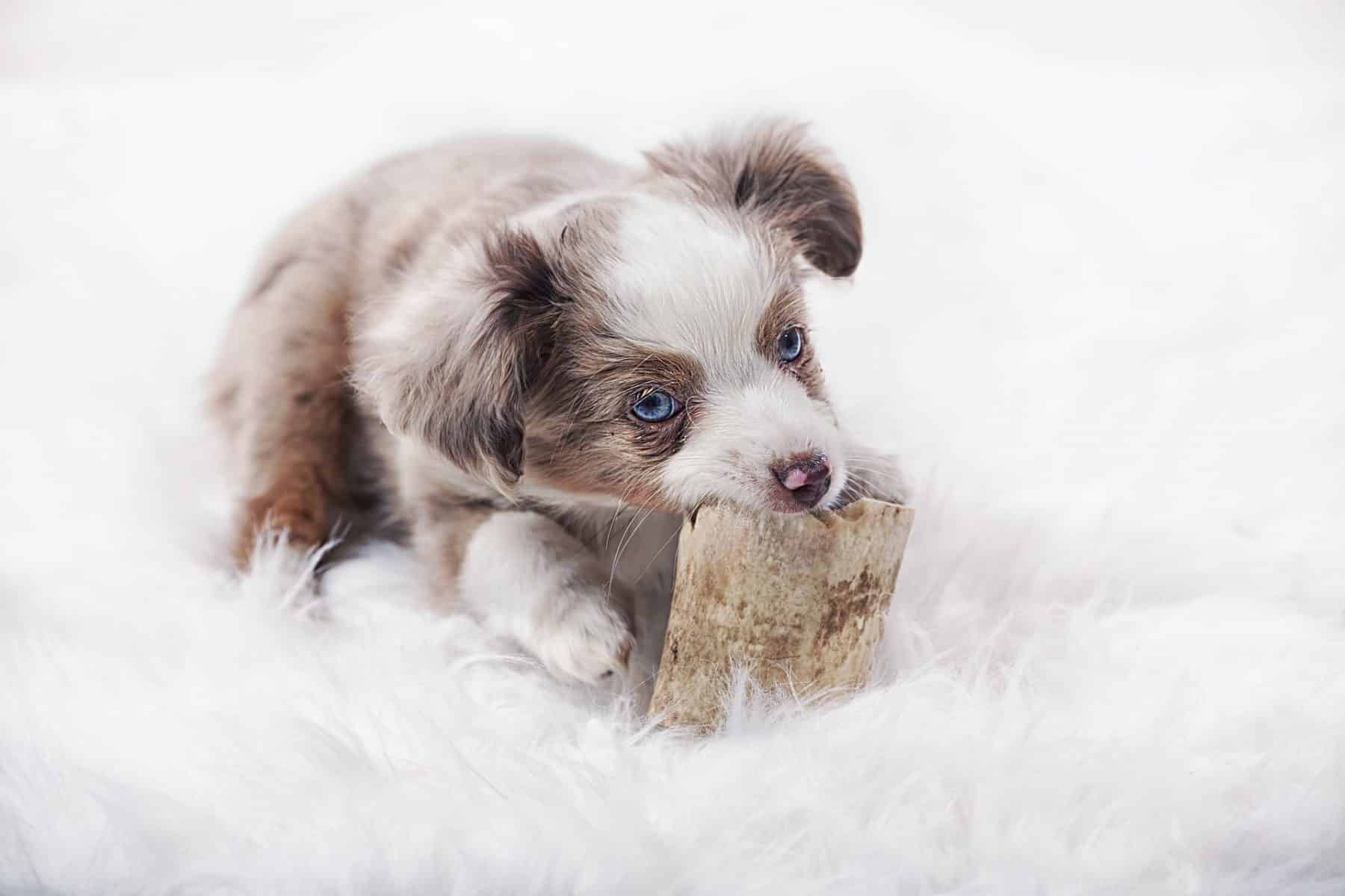 Australian Shepherd Puppies The Ultimate Guide For New Dog Owners The Dog People By Rover Com