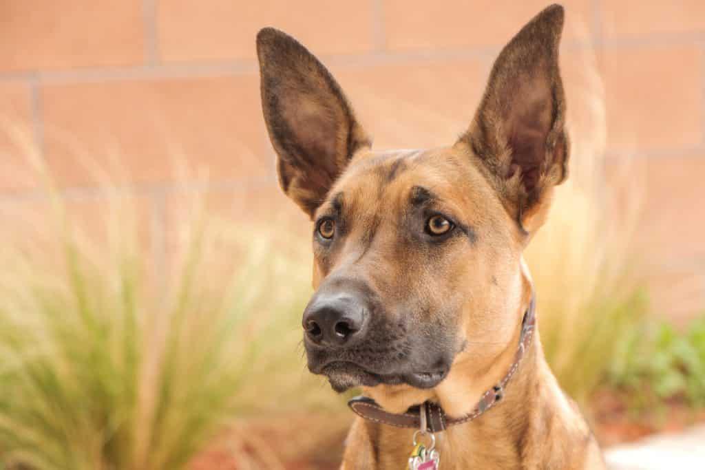 portrait d'un chien malinois