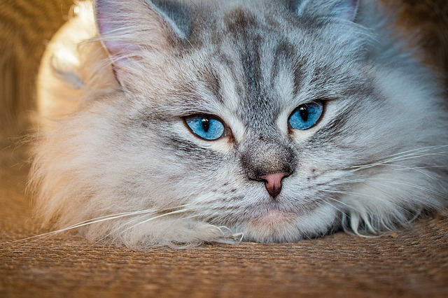 Siberian- Pixabay
