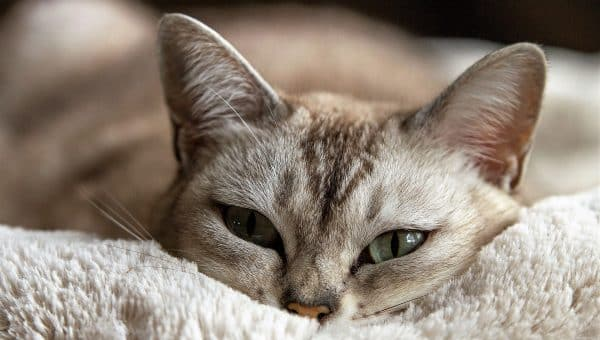 cat snuggled into pad