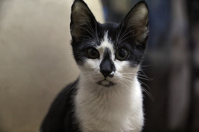 Cat- Pixabay