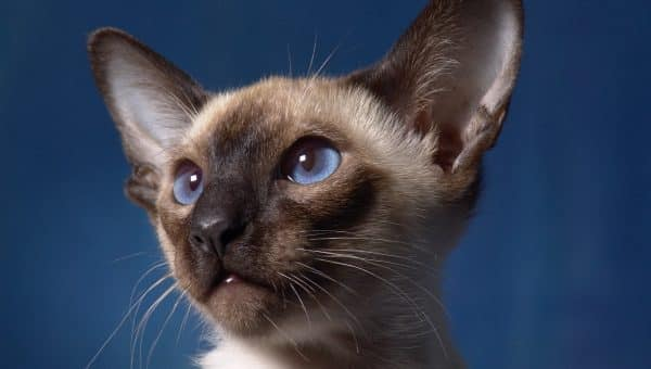 10 Small Cat Breeds That Are Beyond Adorable
