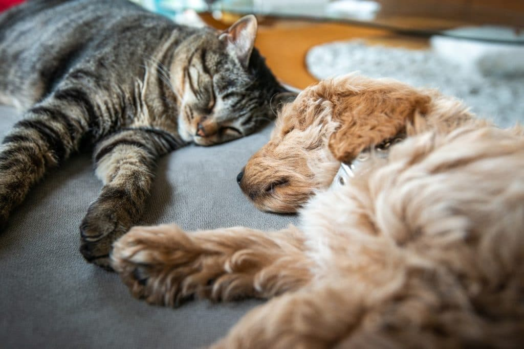 Tabby cat and labrador puppy lie down for a nap together