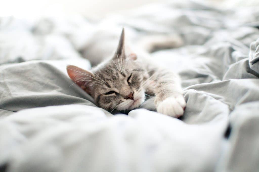 Baby gray and white tabby kitten sleeps on gray blanket