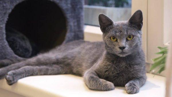 10 razas de gatos hipoalergénicos