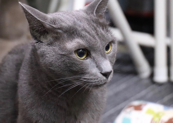 chat hypoallergénique bleu russe