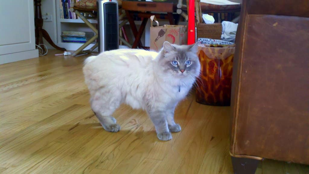 Everything You Ever Wanted to Know About the Manx Cat | The