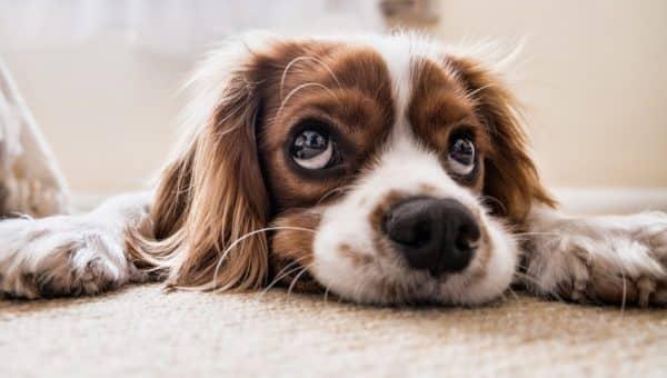 Separasjonsangst hund – Veien til trening