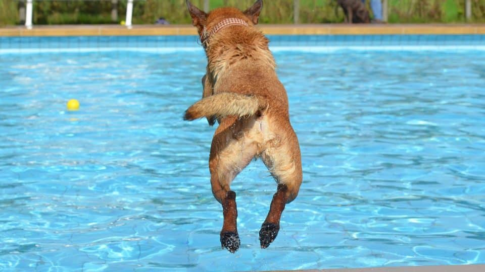 A dog jumping into an outdoor pool
