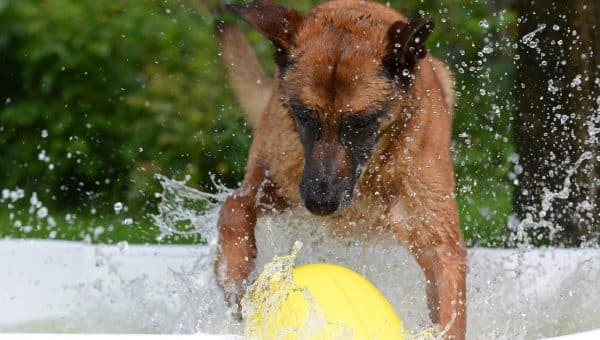 A dog playing with a large inflatable ball in a pool.