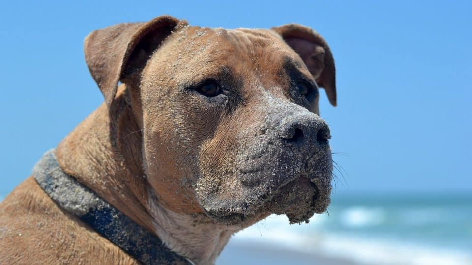 A brown dog with a collar looking out over a beach.