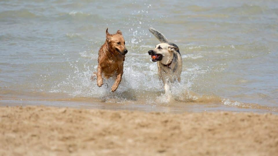 Two dogs running out of the surf.