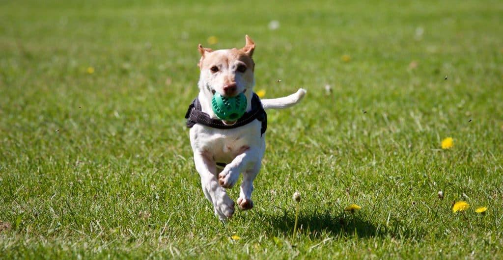 chien en train de courir avec son jouet qui couine