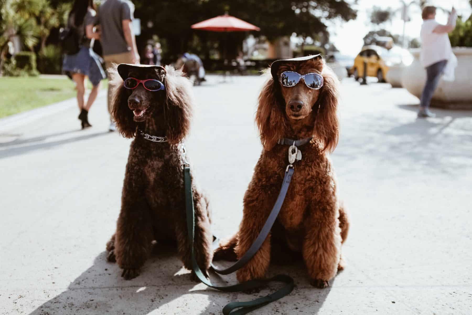 deux chiens dans la rue avec casquette et lunette