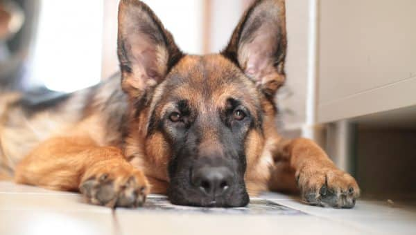 13 Best Dog foods for German Shepherds