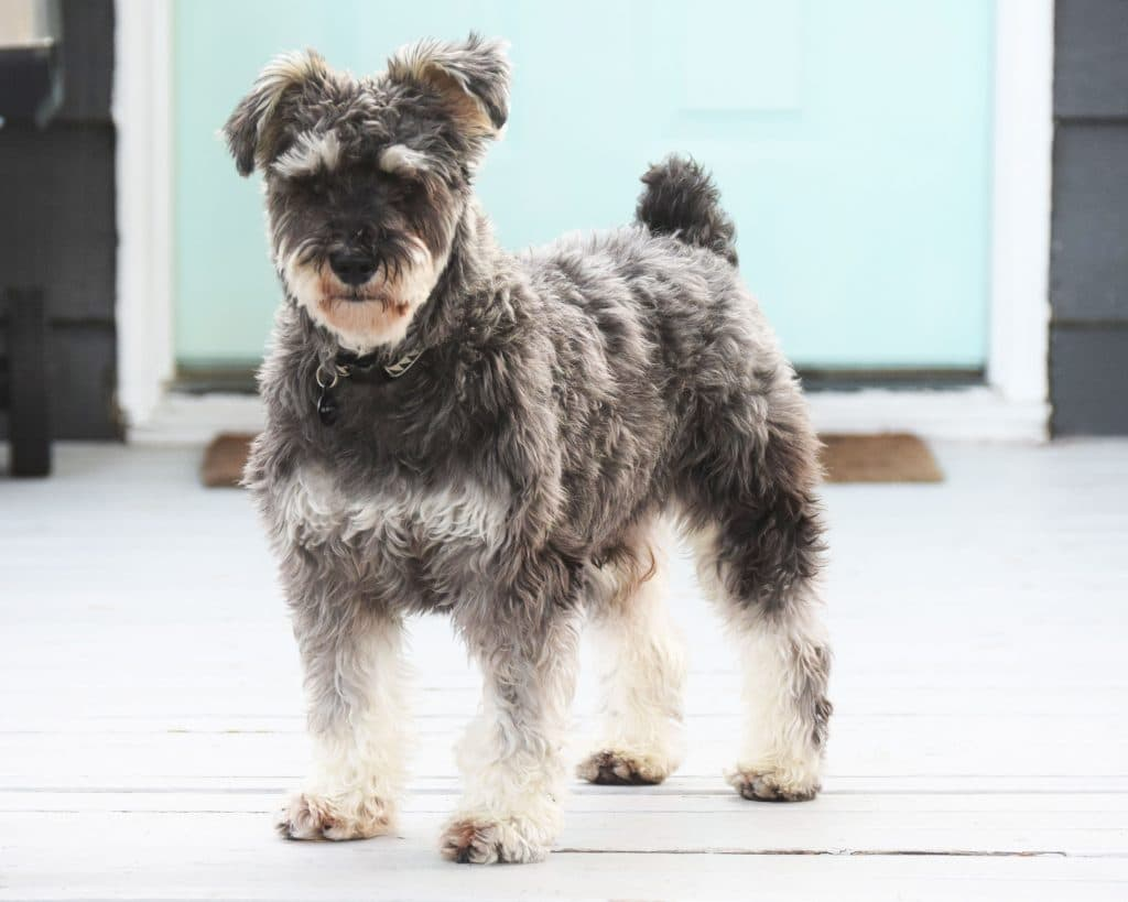 Mini Schnauzer Facts Big Beards With An Ever Bigger Personality