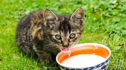 Kitten drinking milk out of bowl