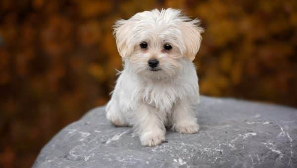 Maltese Puppies: The Ultimate Guide for New Dog Owners